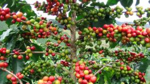 Аромат кофейной «вишни»