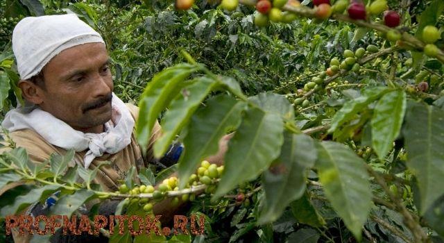 Условия выращивания индийского кофе