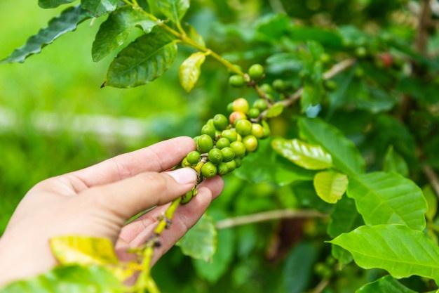 Виды и особенности сборки кофе